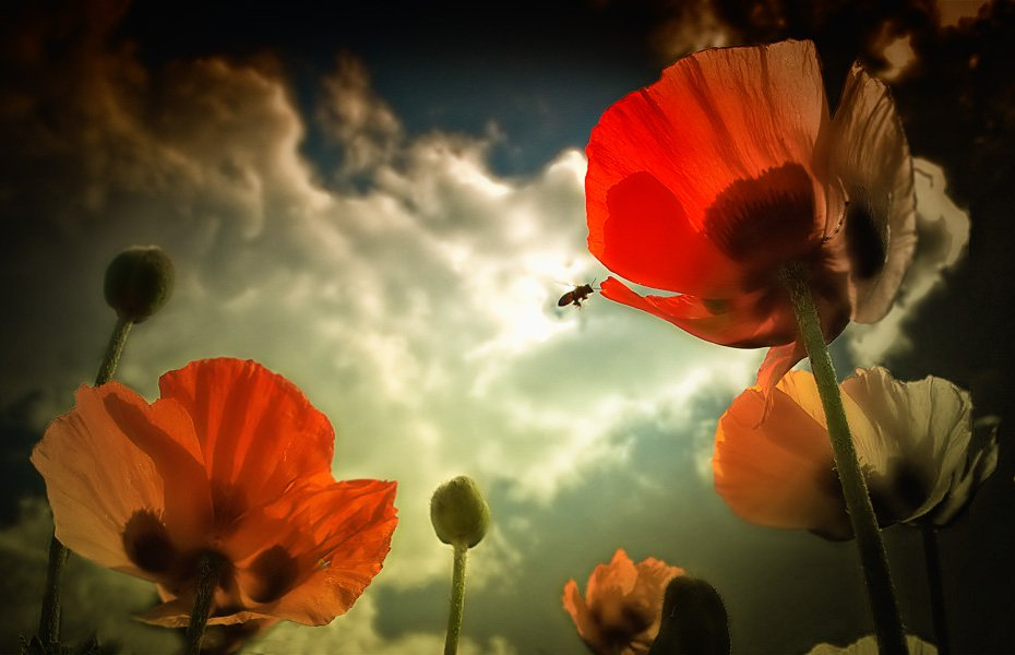 мак, пчела, прошлое лето