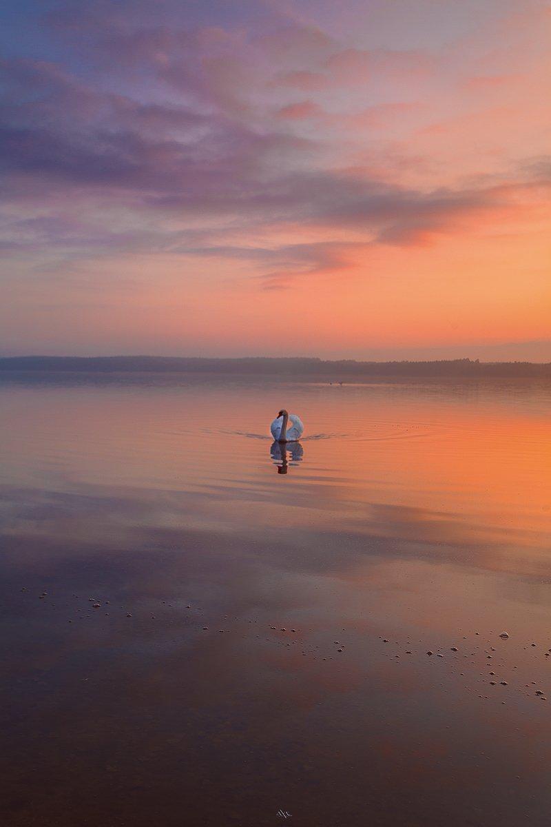 Colors, Curoniain gulf, Lithuania, Reflection, Sunset, Swan, Руслан Болгов (Axe)