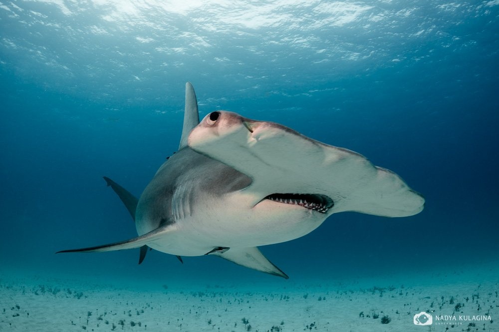 underwater, hammerhead, great hammerhead, shark, close-up, nadeika