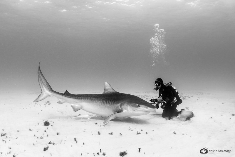 underwater, diving, tiger shark, shark, pelagic, predator, ties, relation, relationship, black and white, nadeika