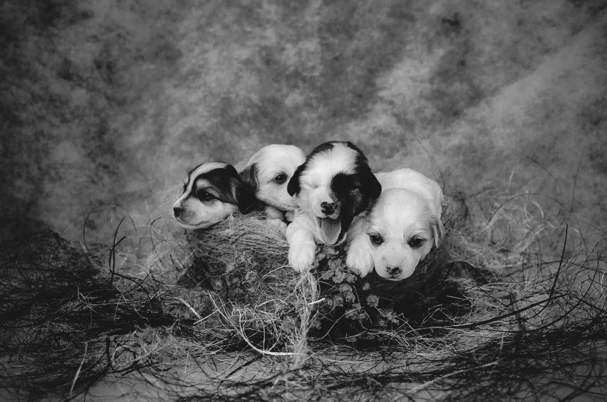 щенки, гнездо,китайская хохлатая, собаки, Юлия Булыня