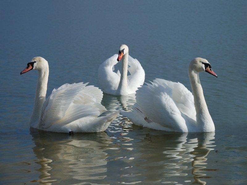 лебеди, птицы, водоплавающие, вода, озеро, bucanero