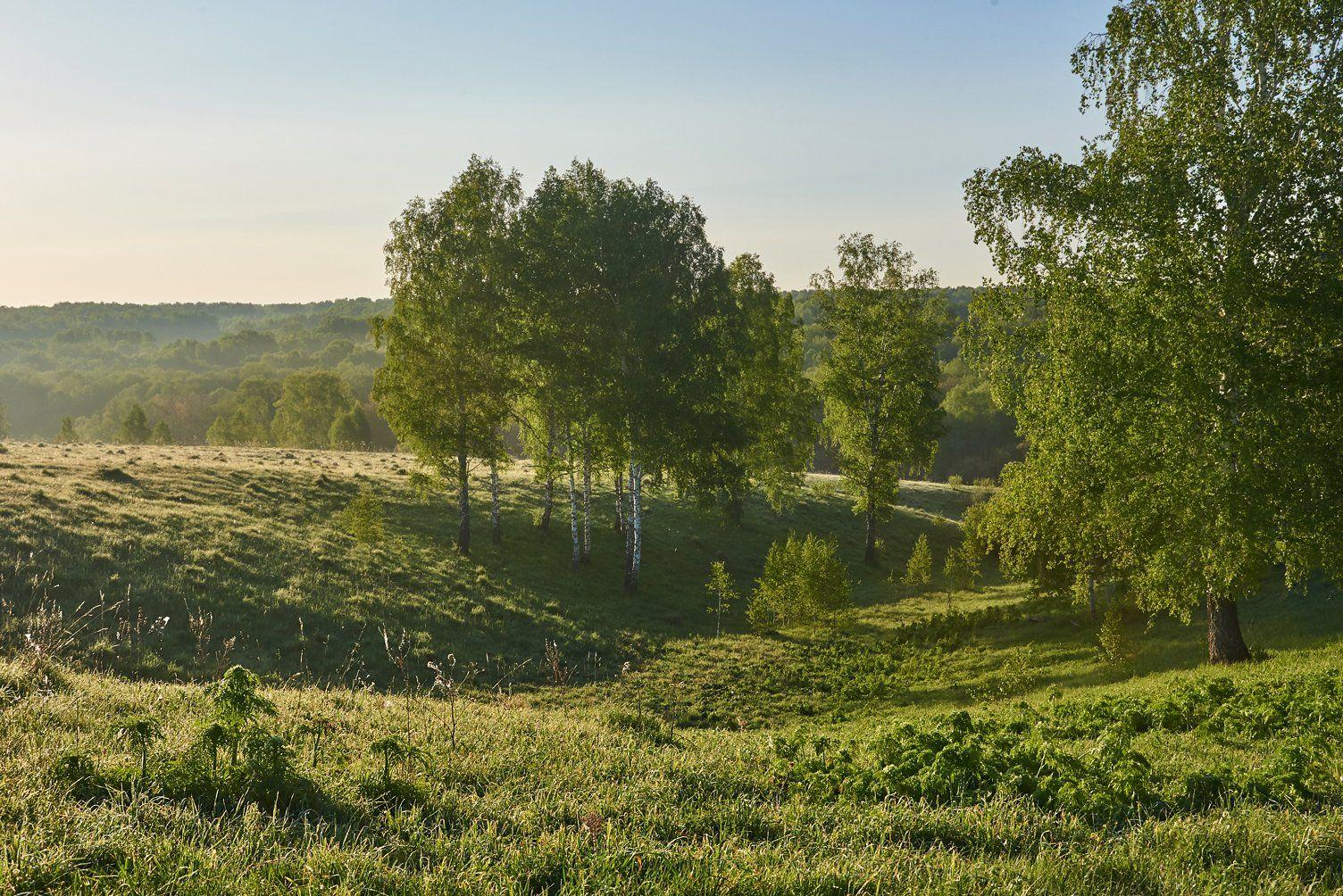 утро, рассвет, роса, берёзы, Сергей Романчук