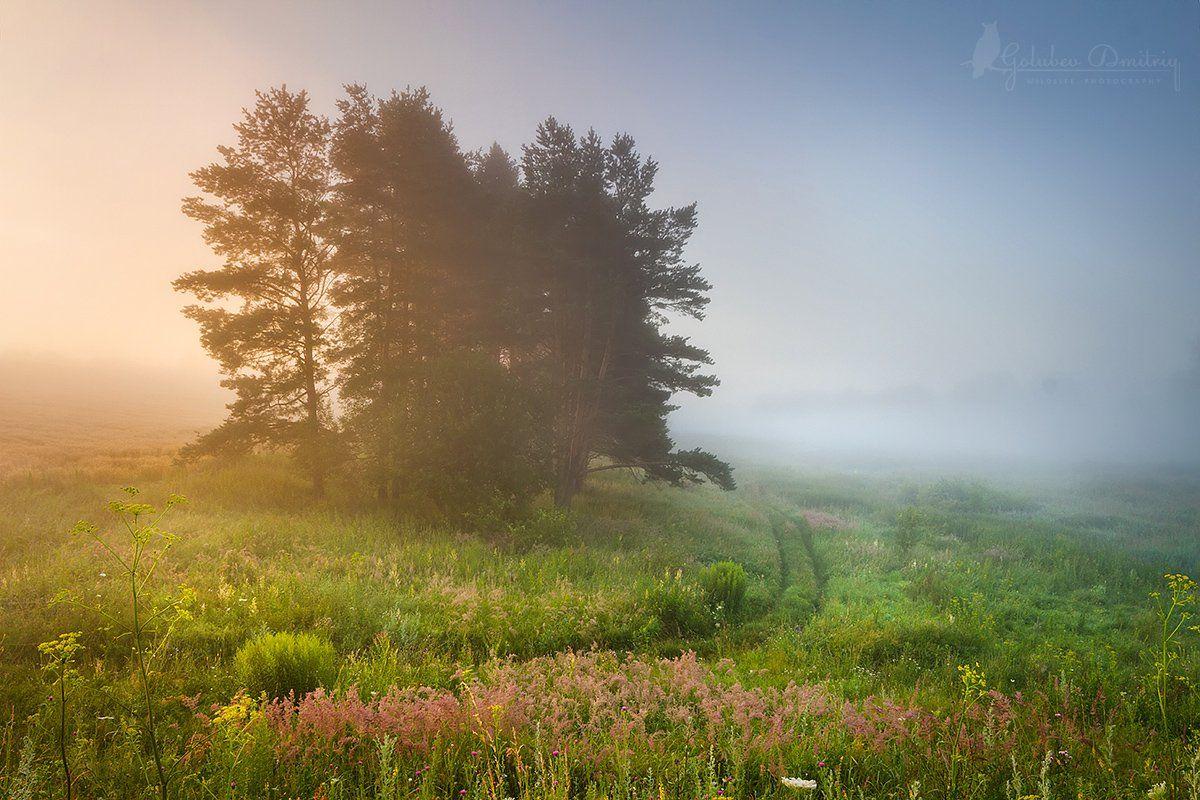 morning, sunrise,  dawn, sun, fog, pines, meadow, field, grass, утро, поле, луг, туман, рассвет, трава, сосны, Голубев Дмитрий