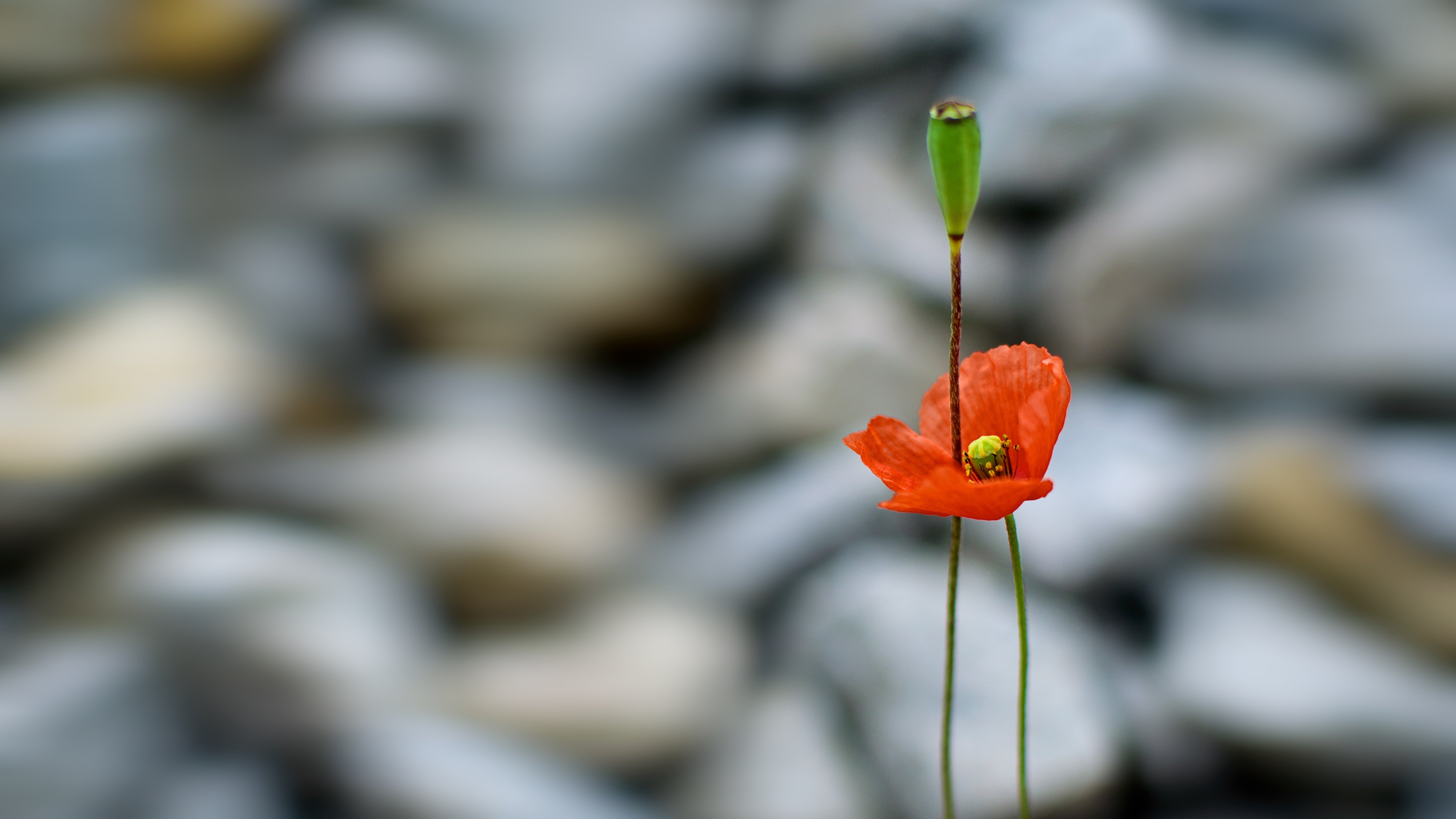 red, outdoor, poppy, estonia, flower, tallinn, bright, capital city, city, city life, close up, colorful, delicate, еurope, nature, simplicity, urban, background, summer, softness, alone, color, grass, light, travel, plant,, Эдуард Горобец