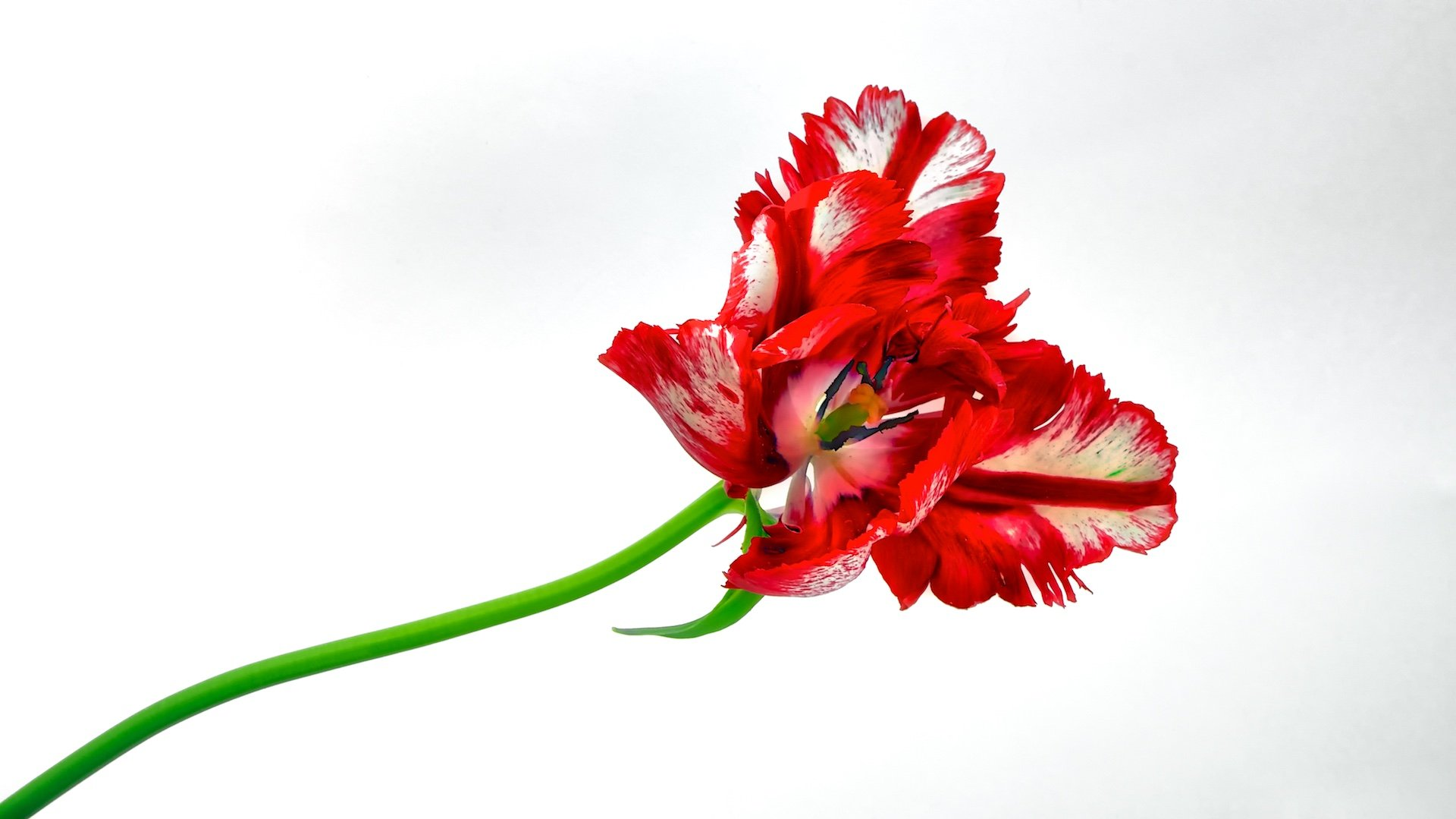 art, white background, bright, blossom, city life, close-up, white, light, delicate, estonia, europe, flower, garden, macro, tulip, nature, outdoor, simplicity, spring, red, tallinn, urban, frangible, plant, colorful,, Эдуард Горобец