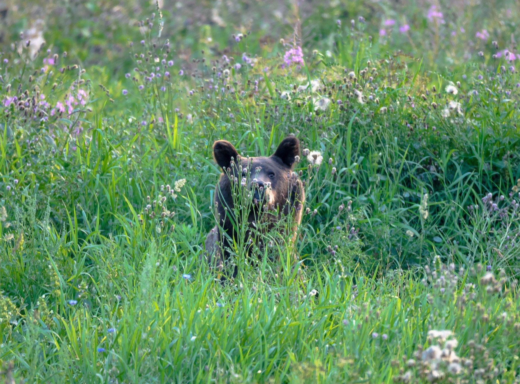 август, бурый медведь, зелёный, лето, мишка, овсы, папарацци, поле, тверская область, трава, удача, центрально-лесной заповедник, цлгз, Соварцева Ксюша