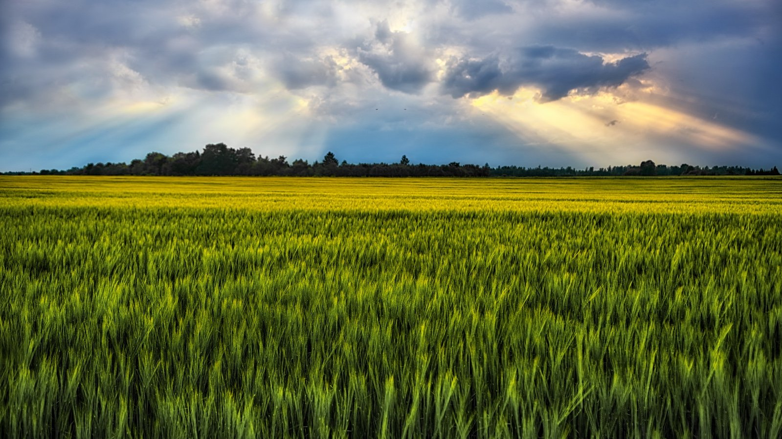 Estonia, Europe, field, barley field, bright, sunset, sun, ray, light, delicate, summer, landscape, nature, outdoor, simplicity , plant, colorful, botanic, panorama, grow up, travel, travel destination, clouds, evening, travel and tourism, trees, view, su, Эдуард Горобец