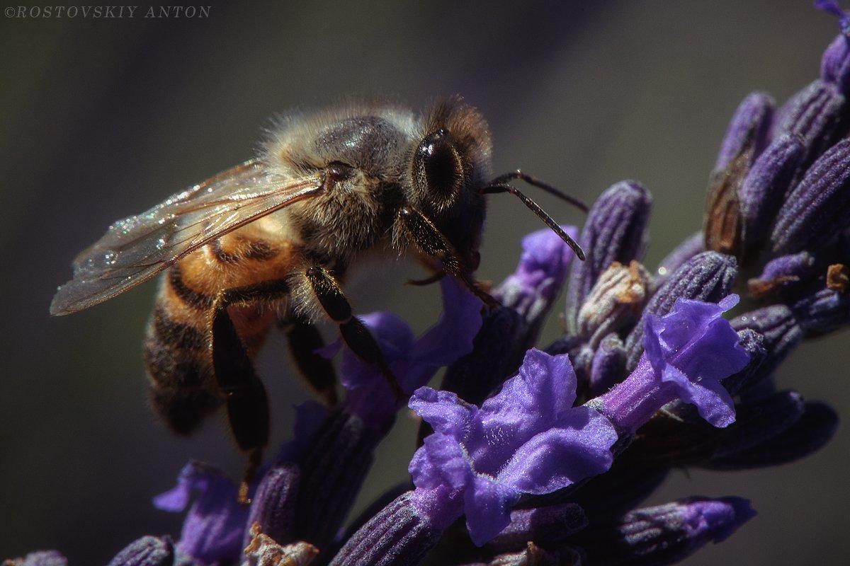 пчела, Прованс, Франция, bee, France, lavender, лаванда, Антон Ростовский