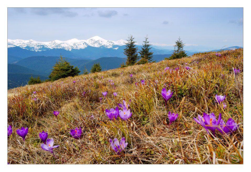 горы, карпаты, говерла, весна, крокусы, котенко, пейзаж, снег, цветы, Котенко Александр