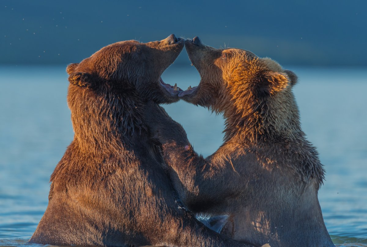 Бурый медведь, Дикая природа, Дикие животные, Камчатка, Курильское озеро, Медведи, Медведь, Россия, Южно-камчатский заказник, Вадим Балакин