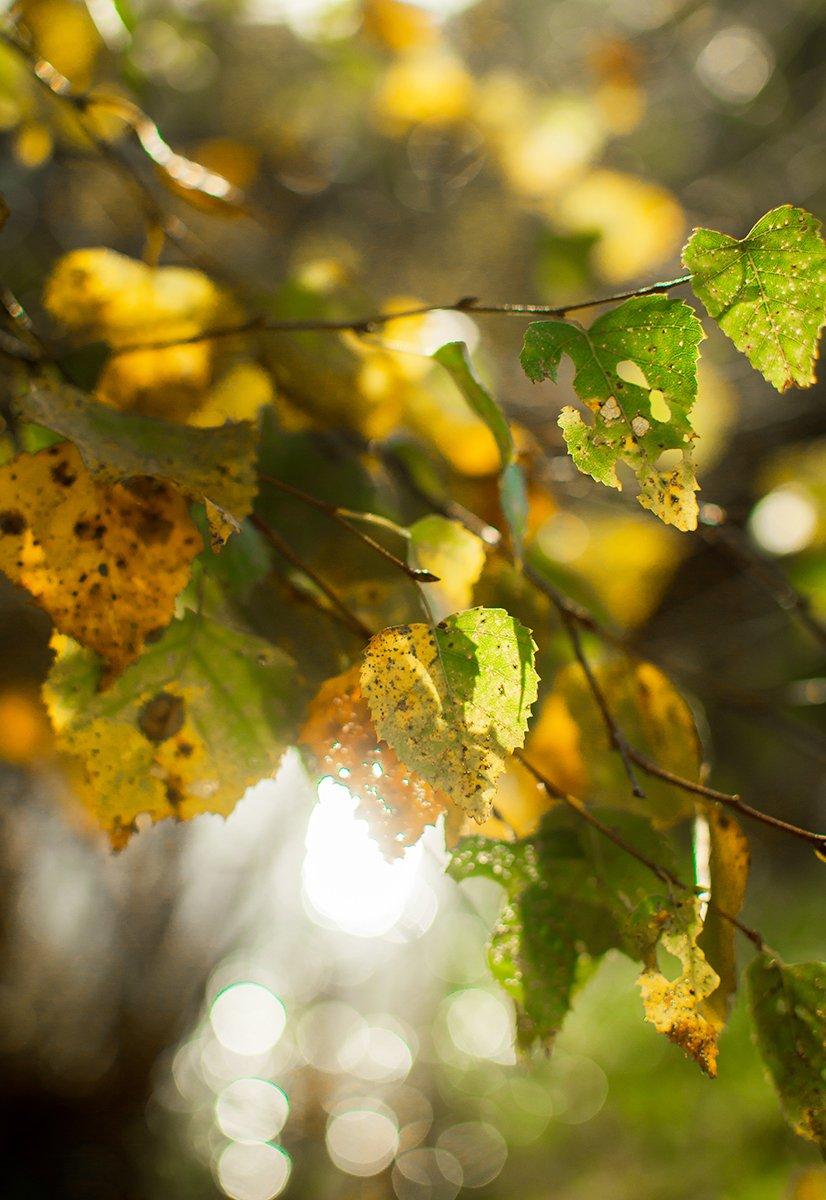 Анна чернякова, Береза, Осень, Природа, Солнце, Чернякова Анна