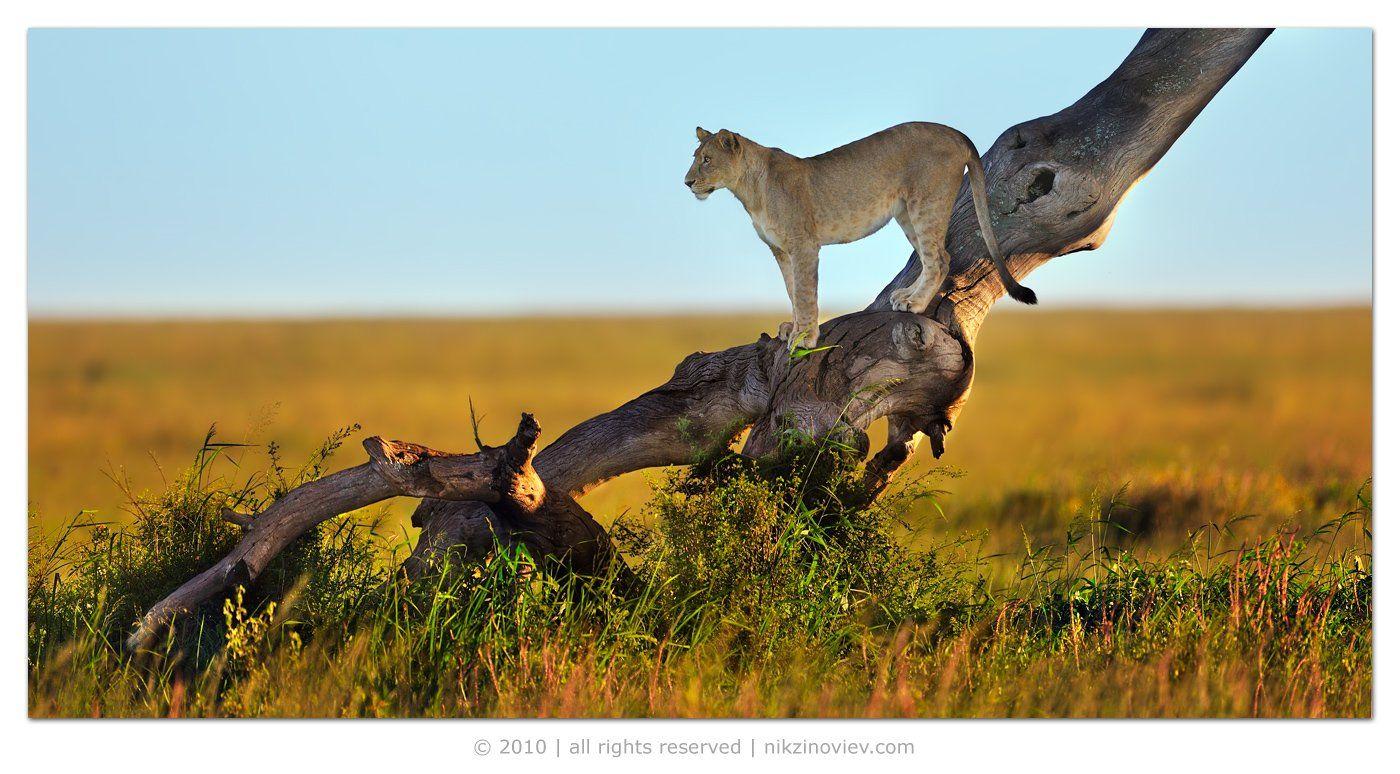 африка, серенгети, дикие животные, львы, львица, закат, саванна, Николай Зиновьев