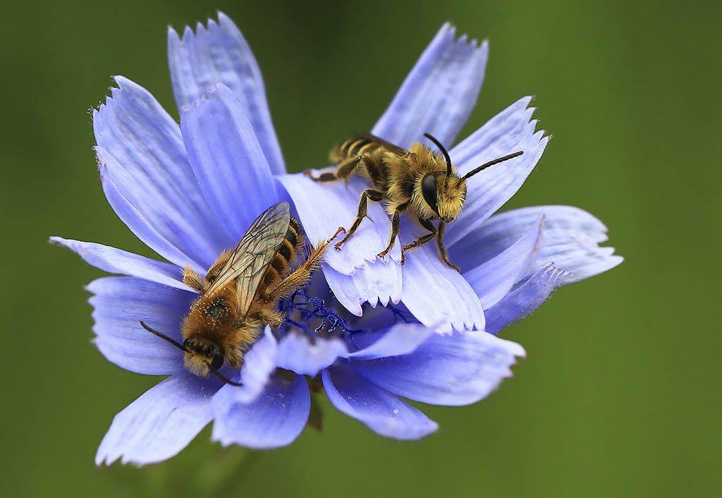 Пчела, Сад, Цветок, синий, весна, мед, насекомое, природа, пыльца, Макрос, зеленый, лето, медоносное, нектар, прилежный, фон, Флора, фауна, симпатичная, цвет, опыление, работа, коммуникация, дикая, желтая, животное, Пестик, Ботаника, тычинка, цвет, Виктор