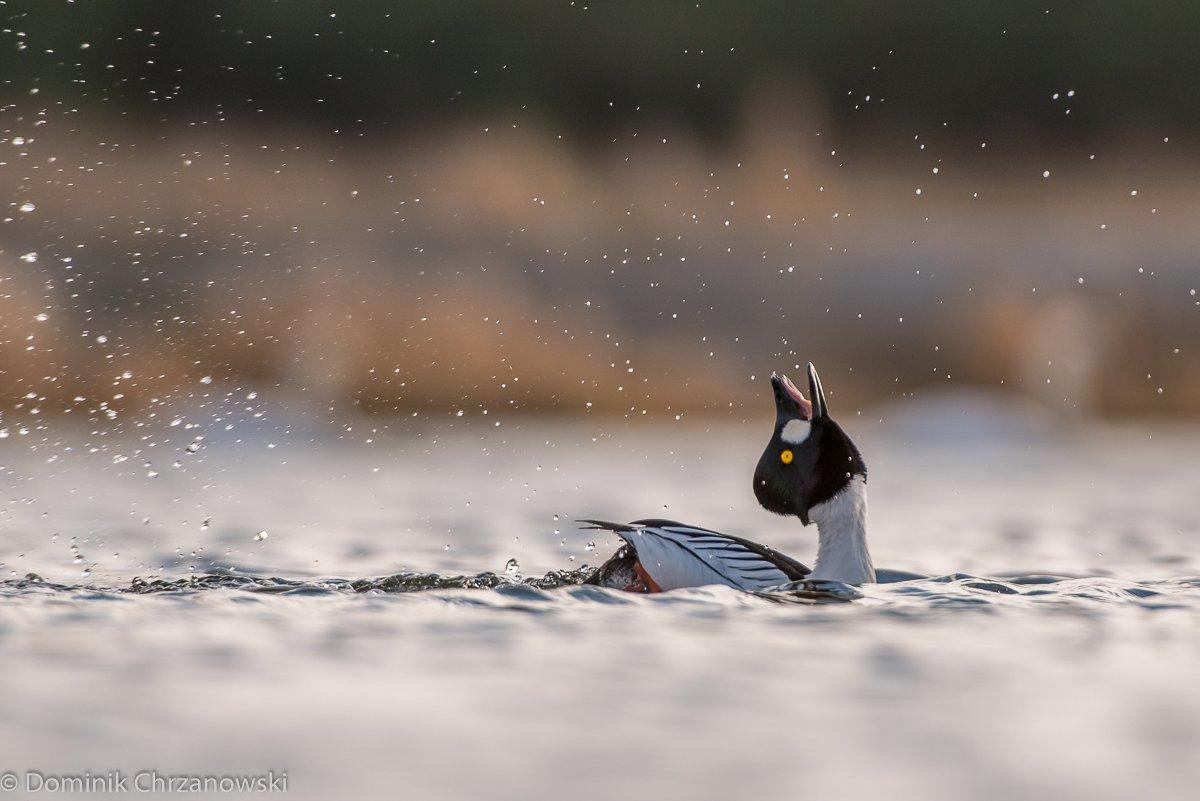 common goldeneye, bucephala clangula, goldeneye, aves, birds, dominik chrzanowski wildlife photography, Dominik Chrzanowski
