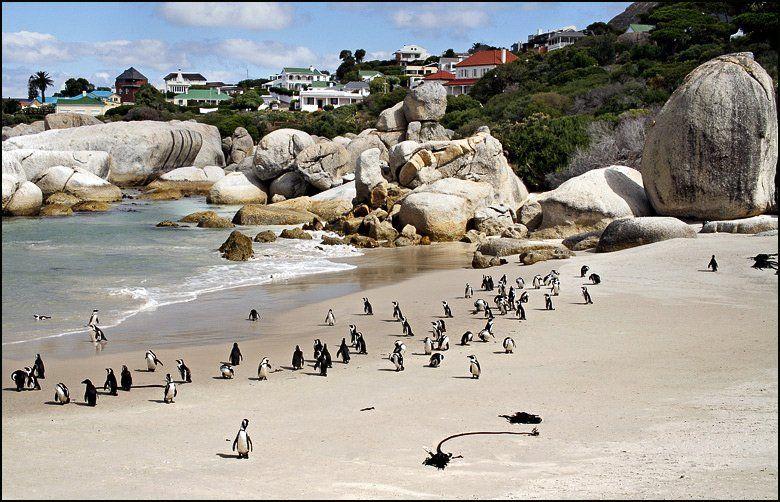 пингвины, океан, кейптаун, африка, пляж, Сергей Майбаум