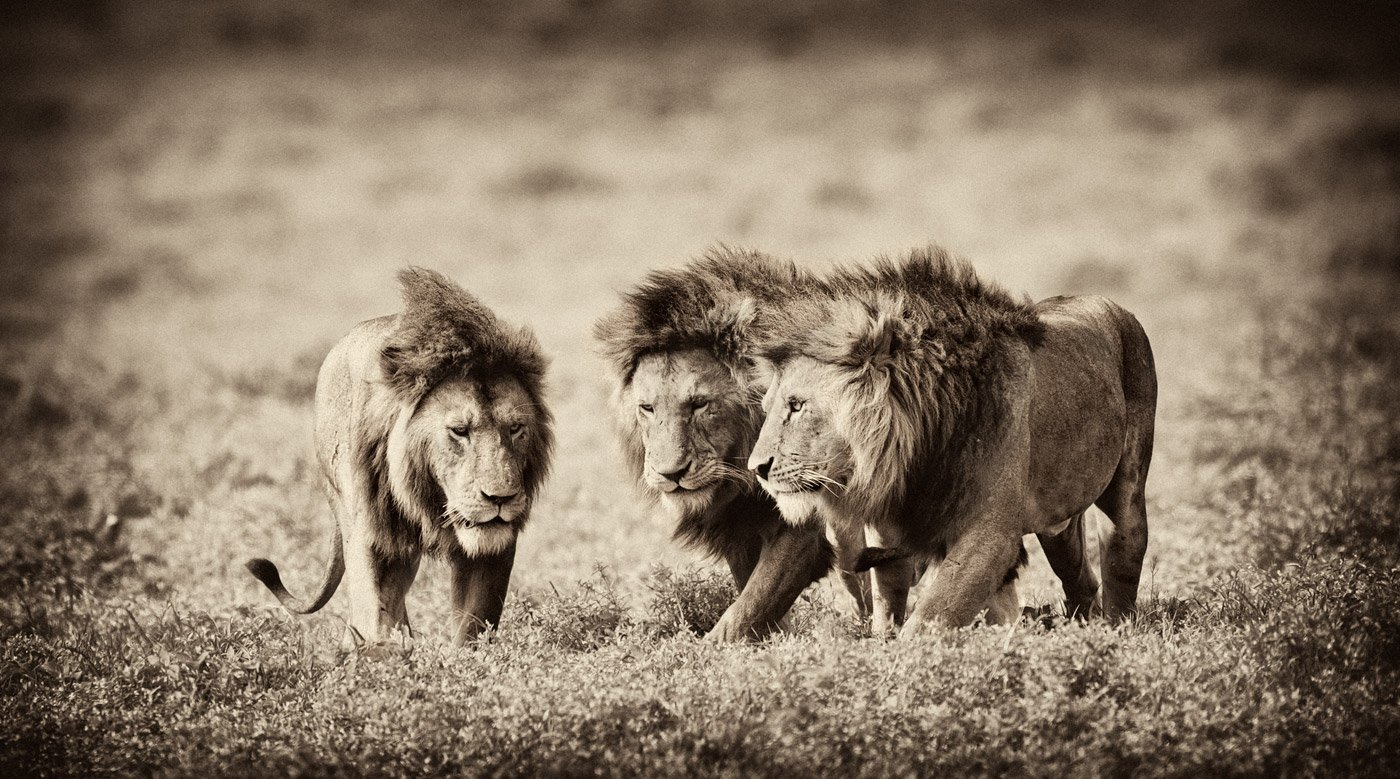 африка, лев, дикие, животные, танзания, николай, зиновьев, Николай Зиновьев