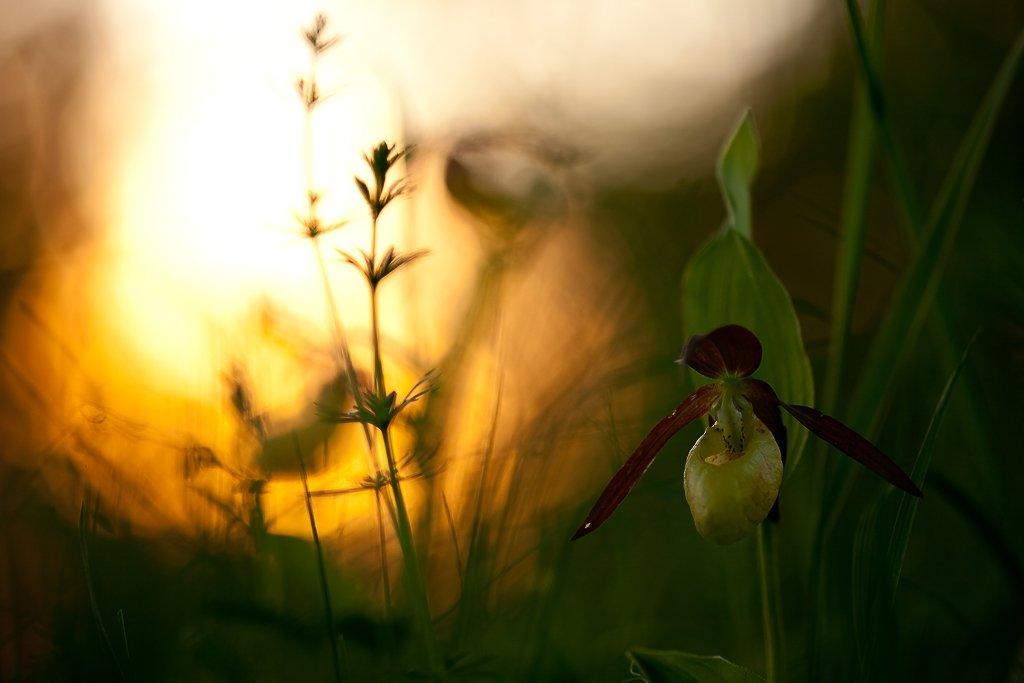 венерин башмачок, закат, Юлия