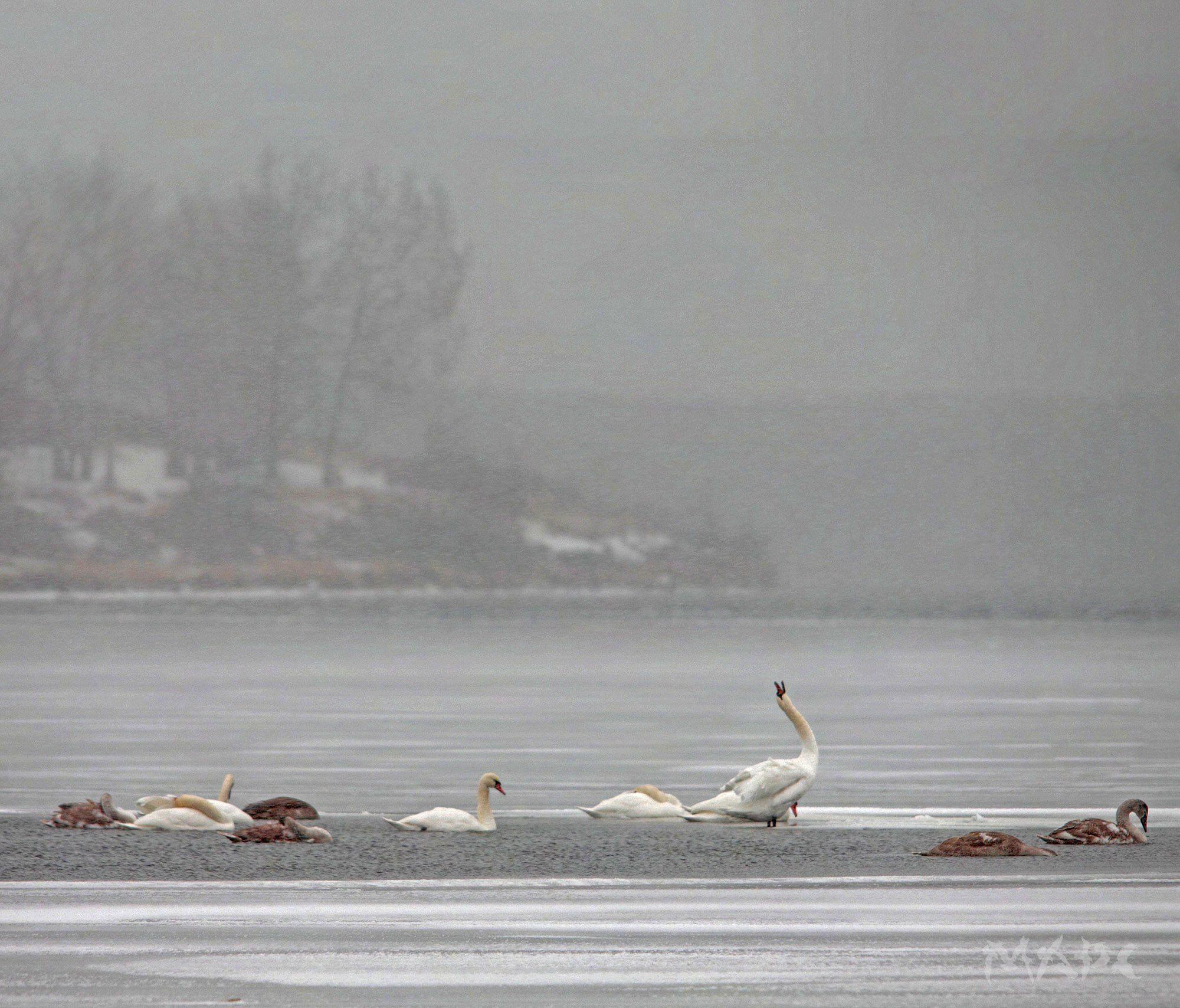 животные птицв лебеди озеро кандры-куль ноябрь, Шангареев Марс