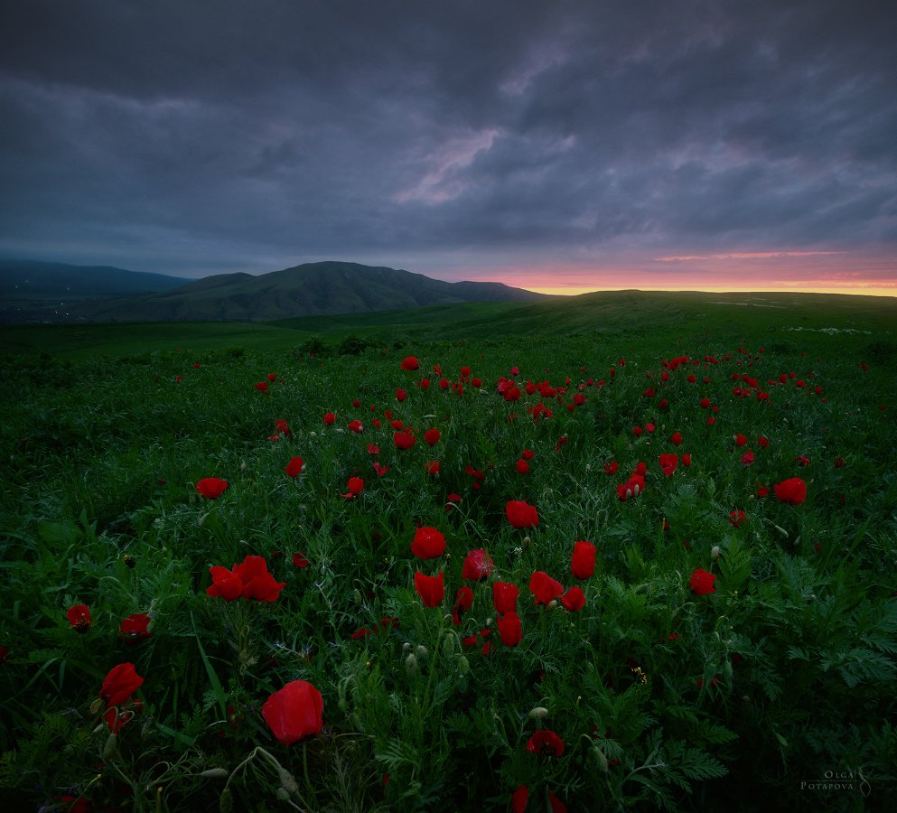 киргизия, маки, маковое поле, закат, сумерки, Ольга Потапова