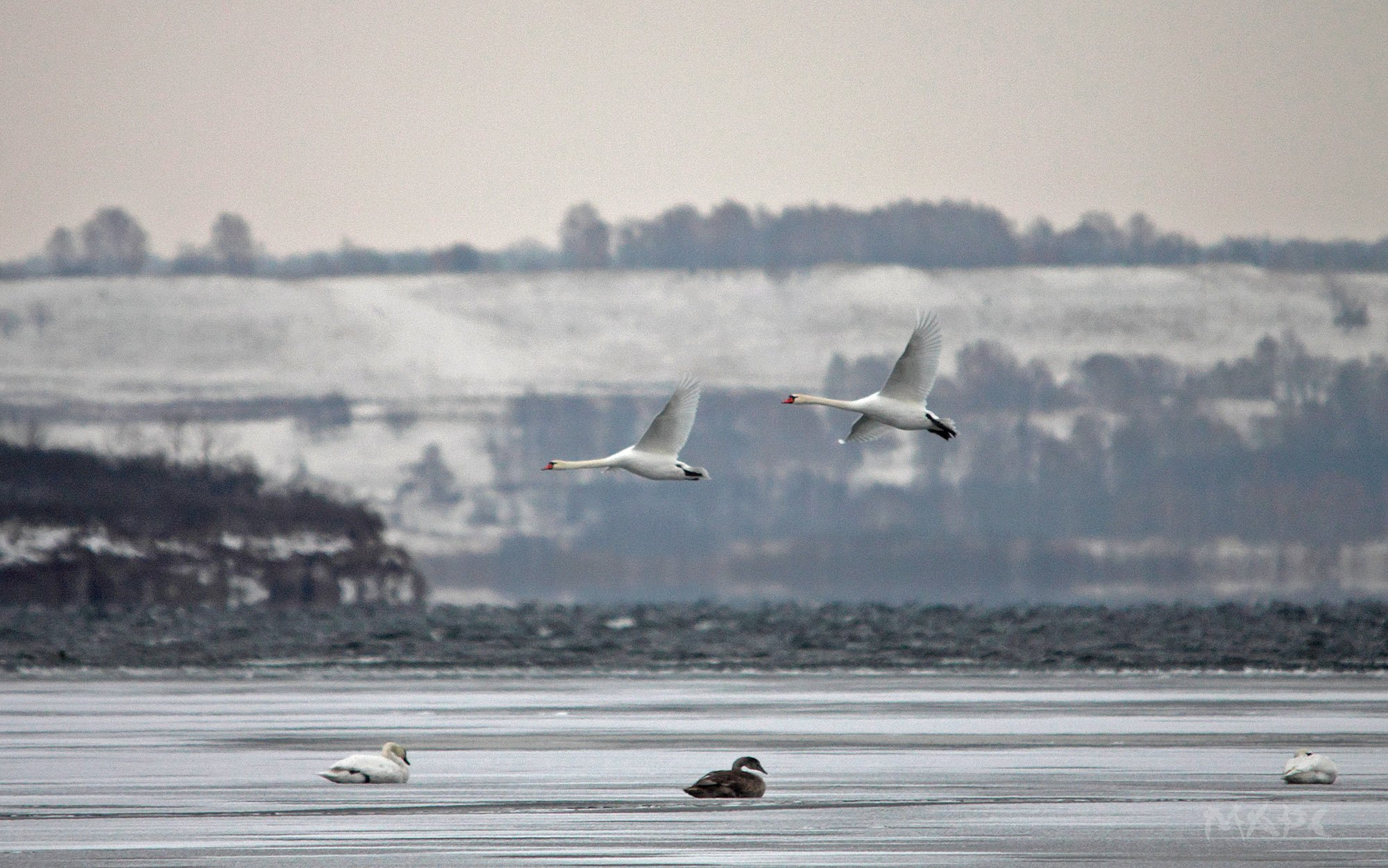животные птицы лебеди ноябрь озеро кандры-куль башкортостан, Шангареев Марс