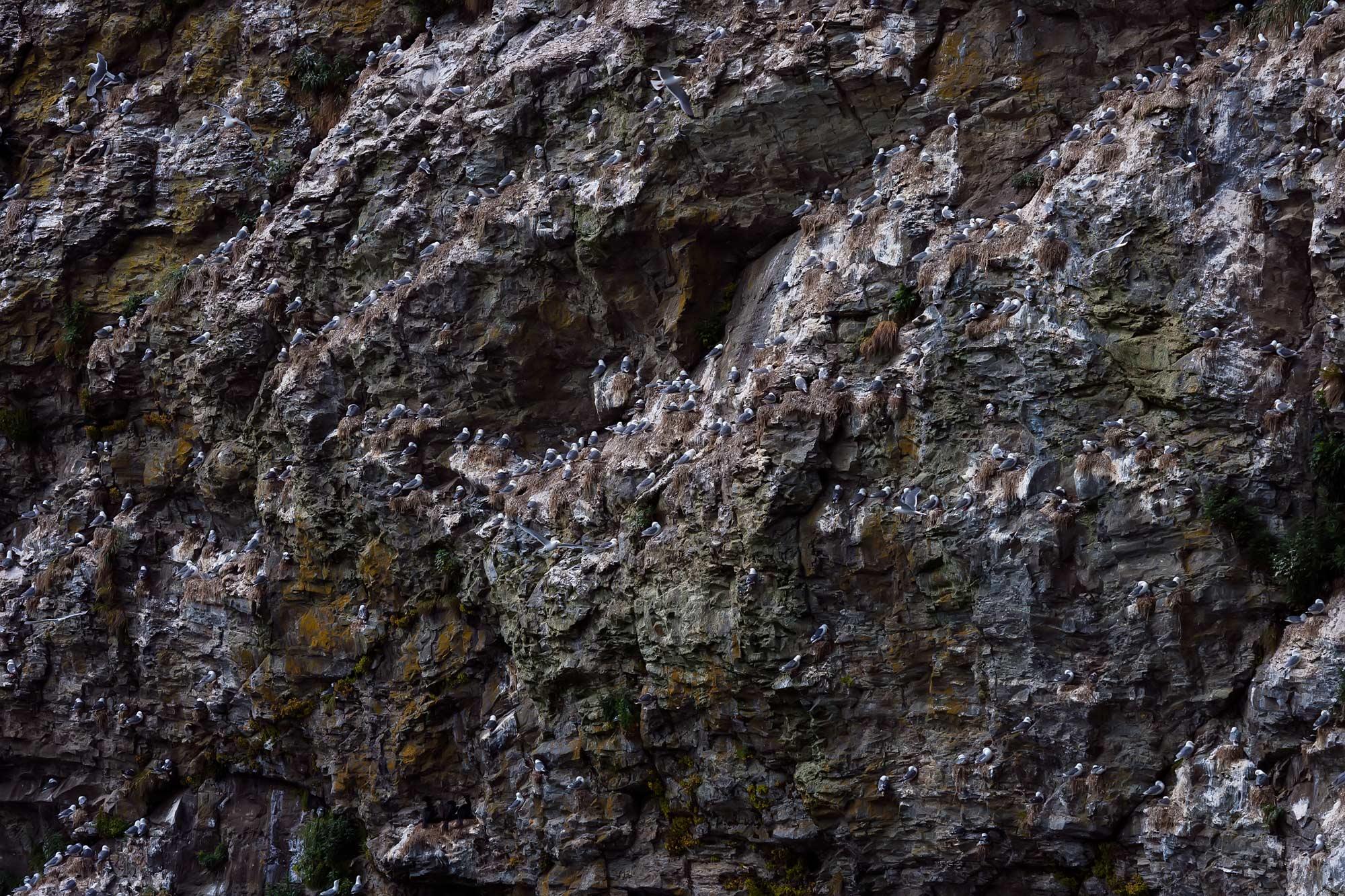 чайки, моевки, говорушки, птичий базар, скала, остров беринга, командорские острова, Дмитрий Уткин