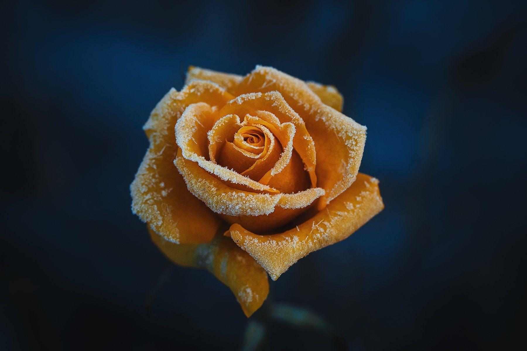 роза,макро,иней, Инна Сухова
