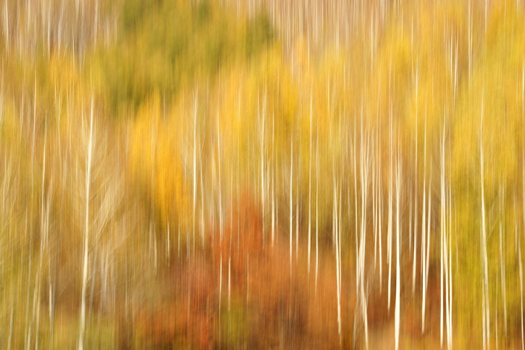 asia,korea,south korea,gangwondo,autumn,birch tree,mountain,tilting,nature, Shin