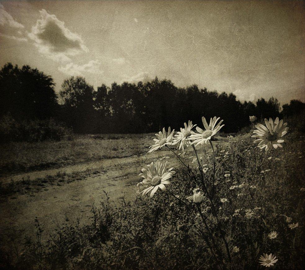 природа, цветы, ромашки, стилизация, Nateletro