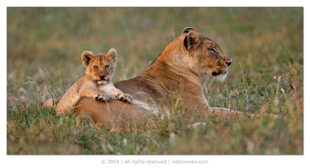 африка, лев, львенок, дикие, животные, танзания, николай, зиновьев, Николай Зиновьев
