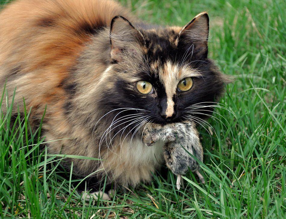 кошка, мышь, охота, животные, природа, Andrey Zolotnitsyn
