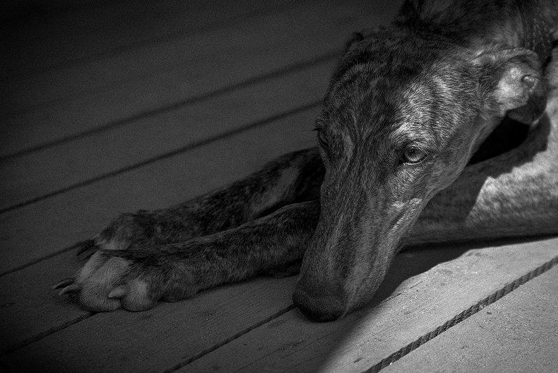 животные, пёс, собака, грусть, ожидание, b/w, Тигров