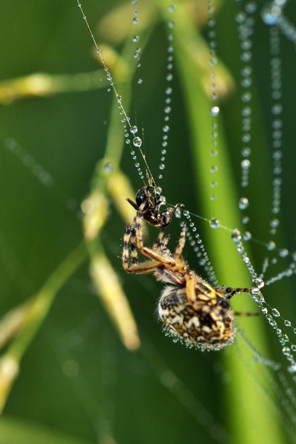 паук, муха, паутина, охота, охотник, добыча, жертва, Динара