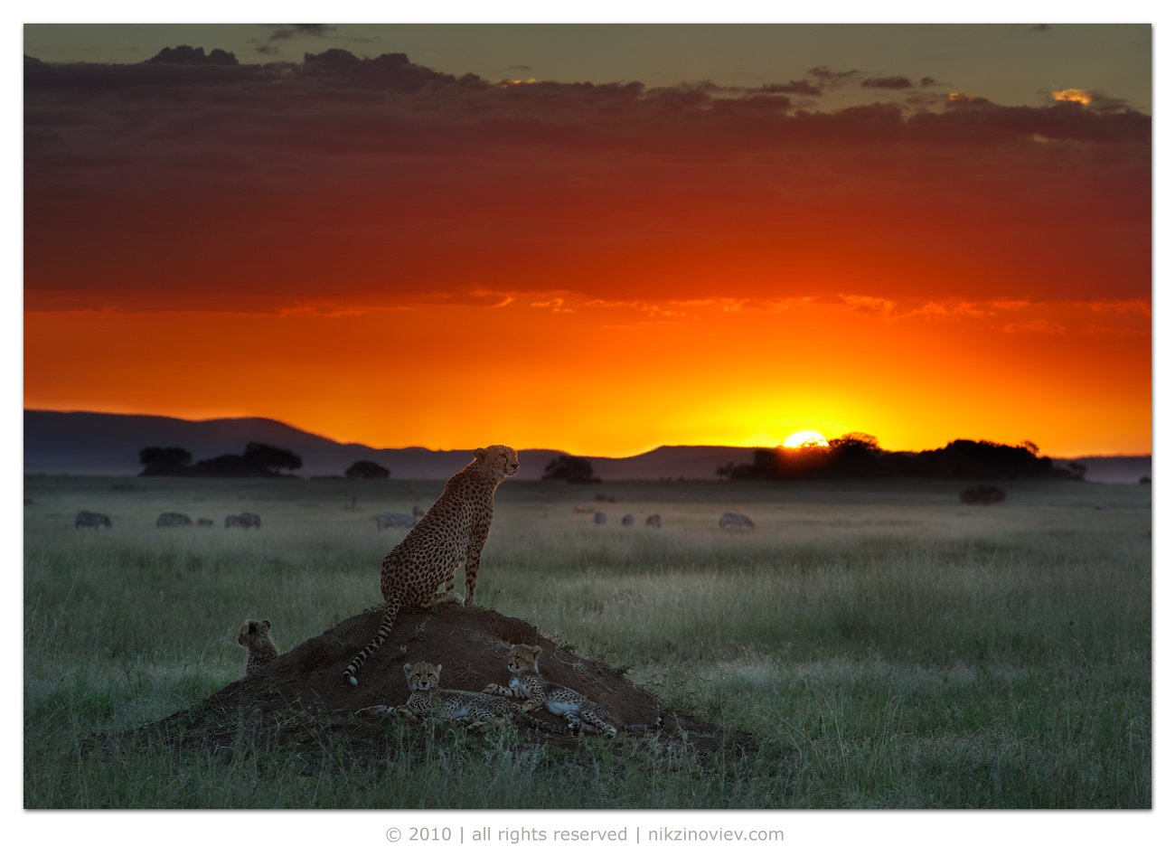 африка, , , дикие, животные, танзания, гепард, пейзаж, зиновьев, николай, Николай Зиновьев