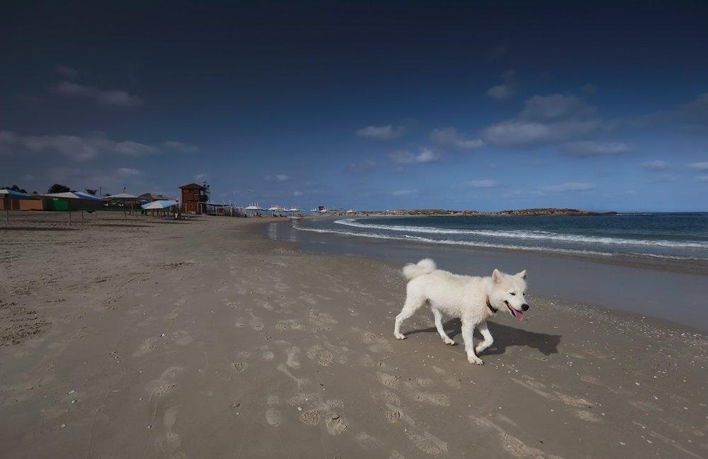 белый, пёс, собака, берег, пляж, море, дор, лето, израиль, Alexey Elkin