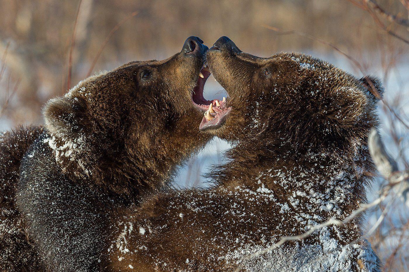 бурый медведь, камчатка, Сергей Иванов