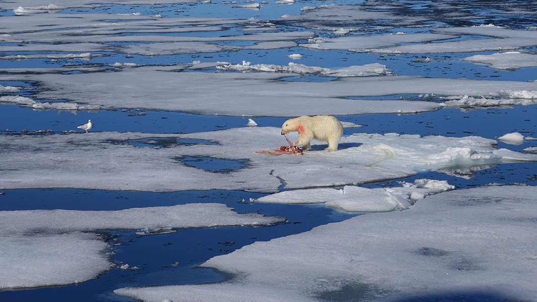 фотографандреевандрей, северныйполюс, northpole, арктика, arctic, ice, снег, лёд, круиз, expiditions, travel, белыймедведь, медведь, polarbear, животное, natgeowild, Андрей