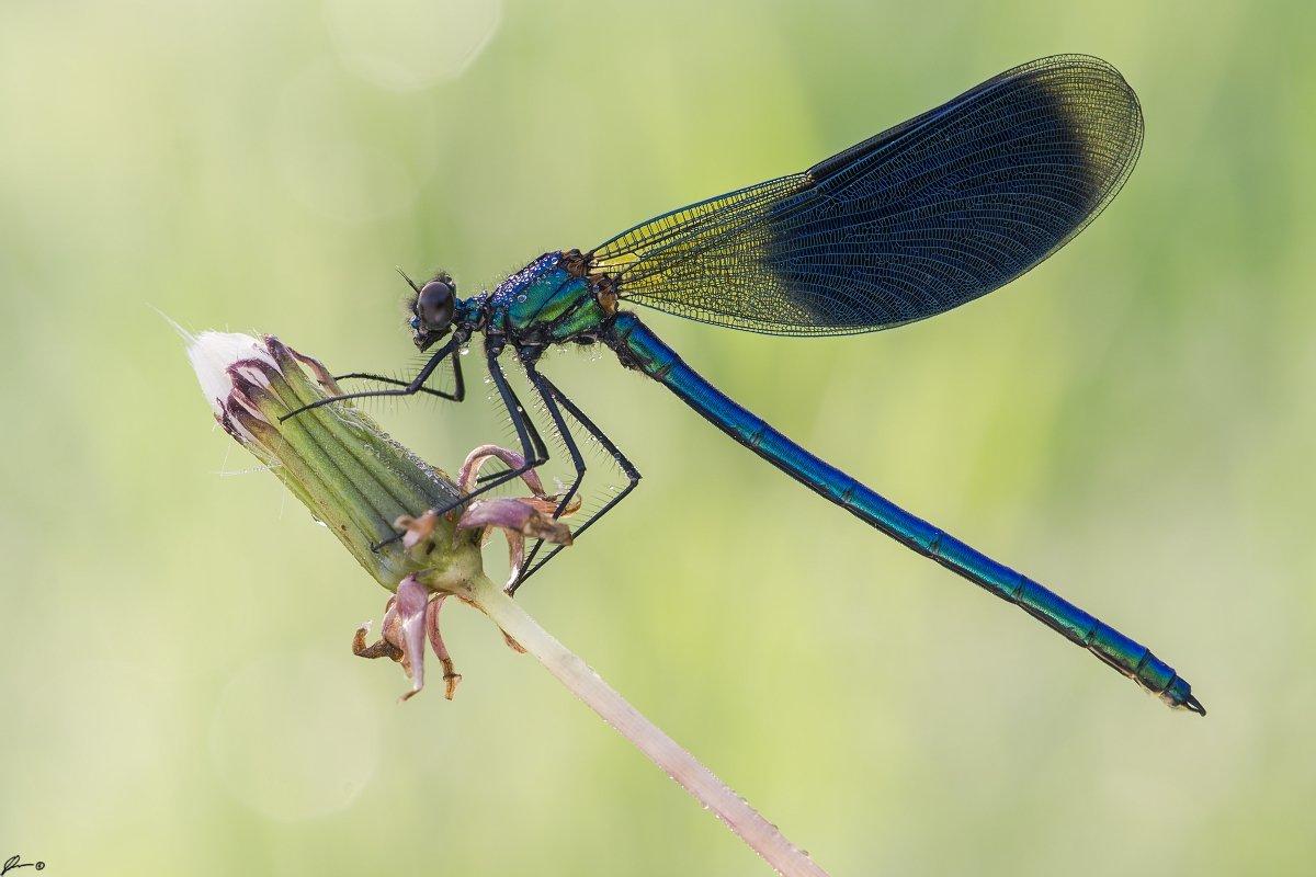 macro, makro, insect, wildlife, nature, dragonfly,, Mariusz Oparski