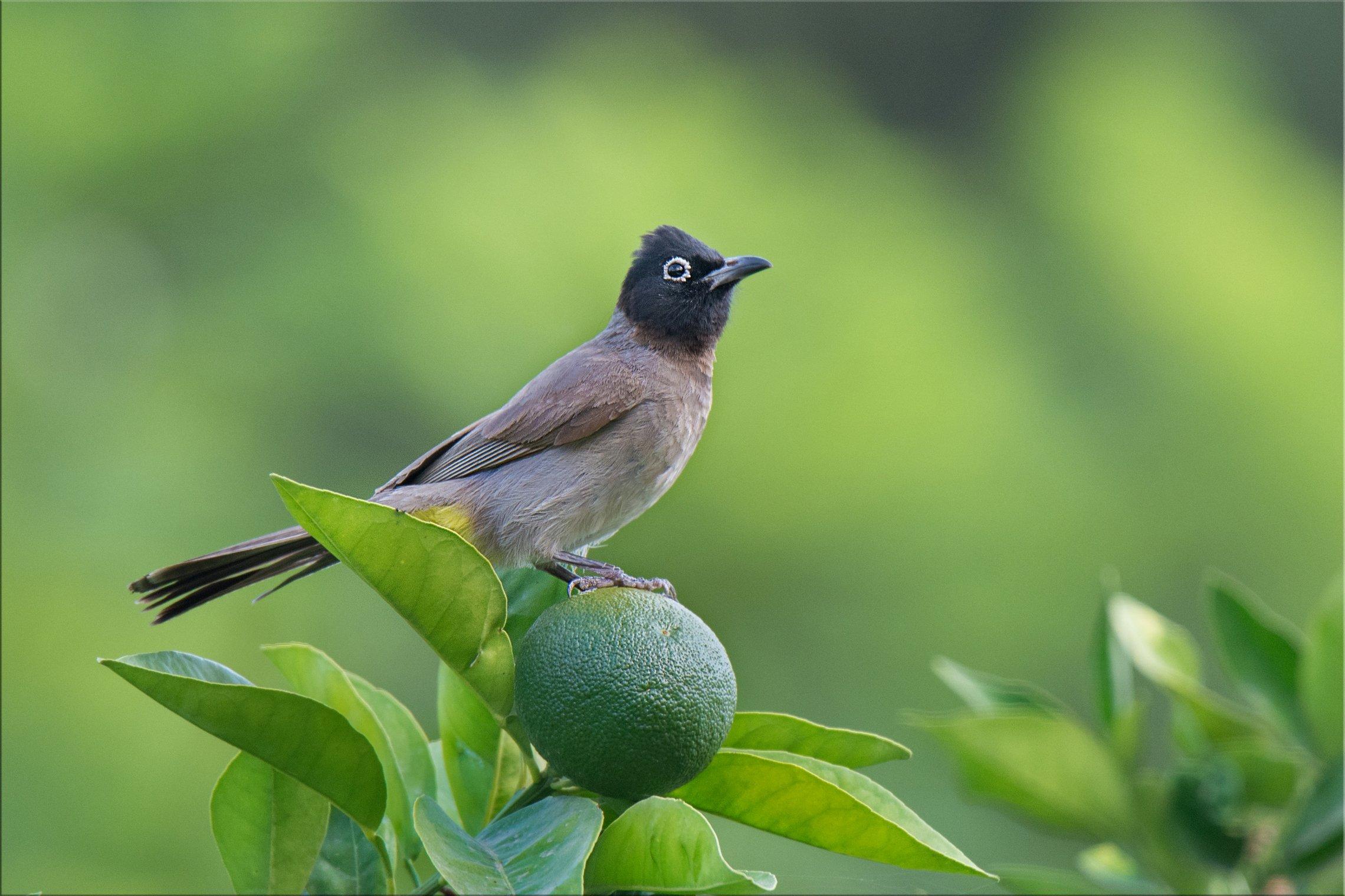 птичка, бюльбюль, сад, апельсин, Людмил@