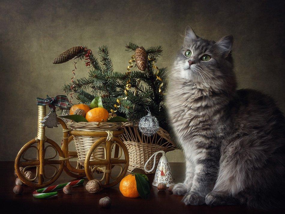 фото, кошка масяня, велосипедик, мандарины, елка, сладости, Ирина Приходько