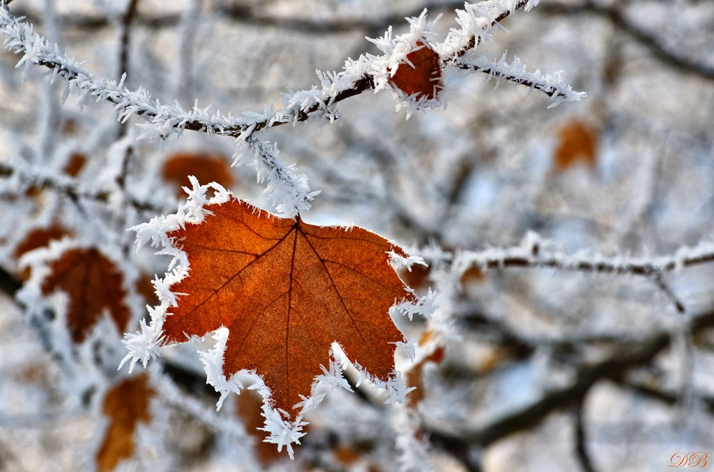 nature, snow, frost, frosted, ice, leaf, brown, branch, winter, bush, color, colors, color image, image, photography, white, light,, Dr Didi Baev