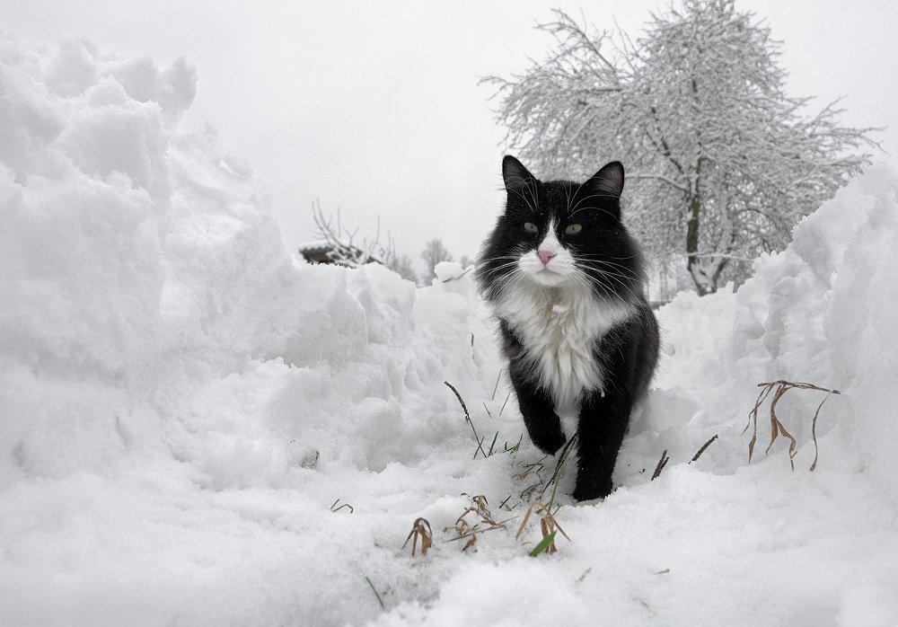 козлов артур, кот, животные, снег, зима, сугробы, тропинка, Артур