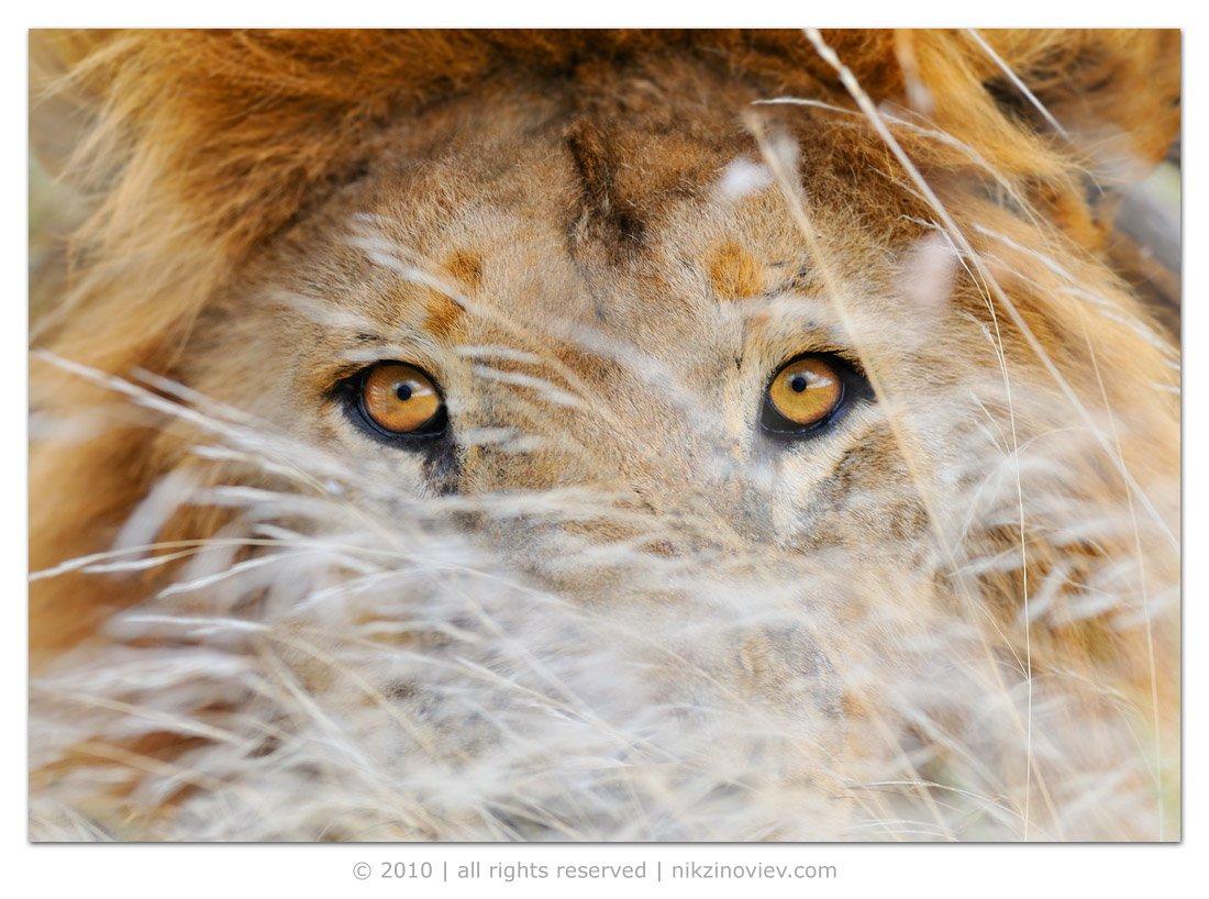 африка, лев, , дикие, животные, танзания, николай, зиновьев, Николай Зиновьев