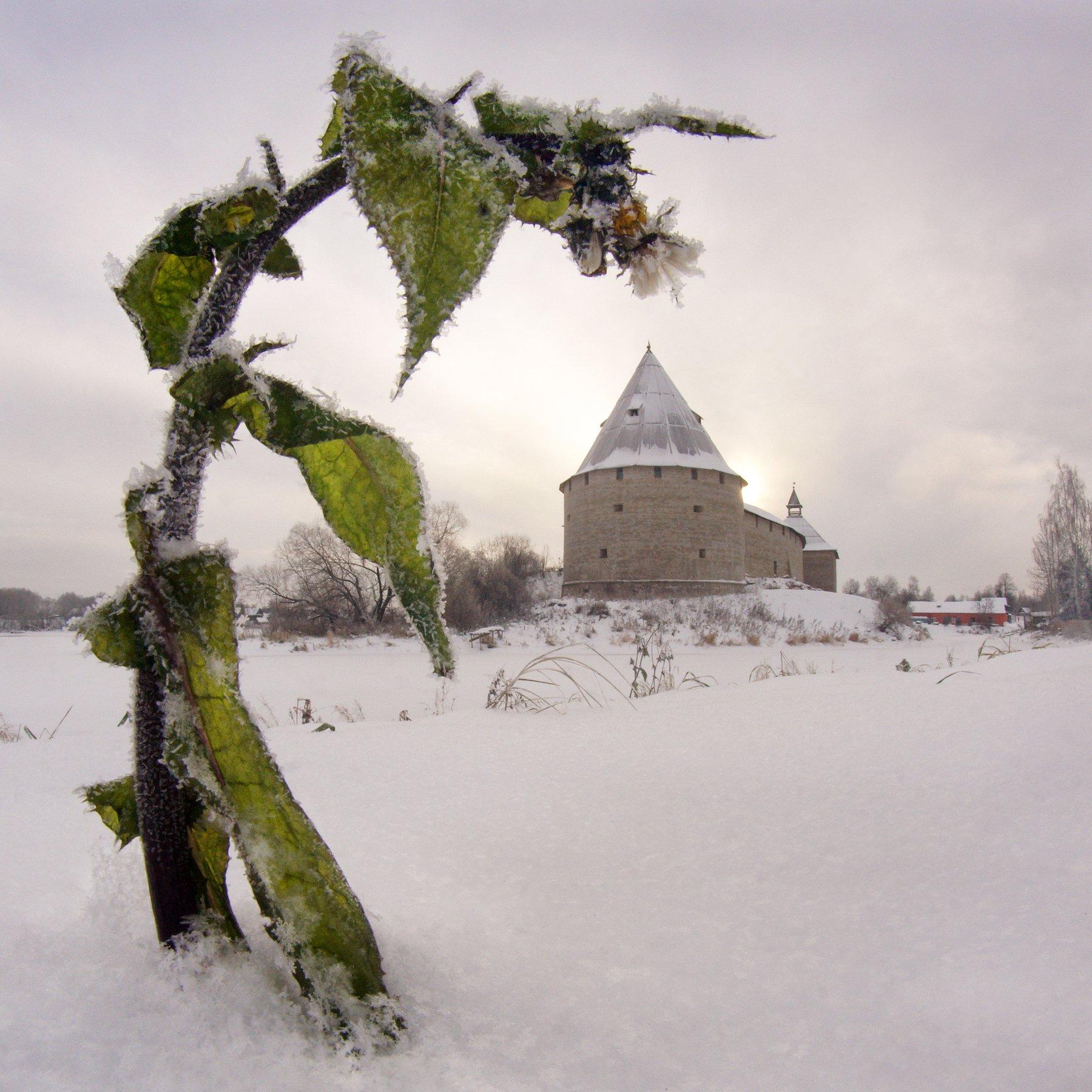 старая ладога, цветок, крепость, снег, Аристова Ольга