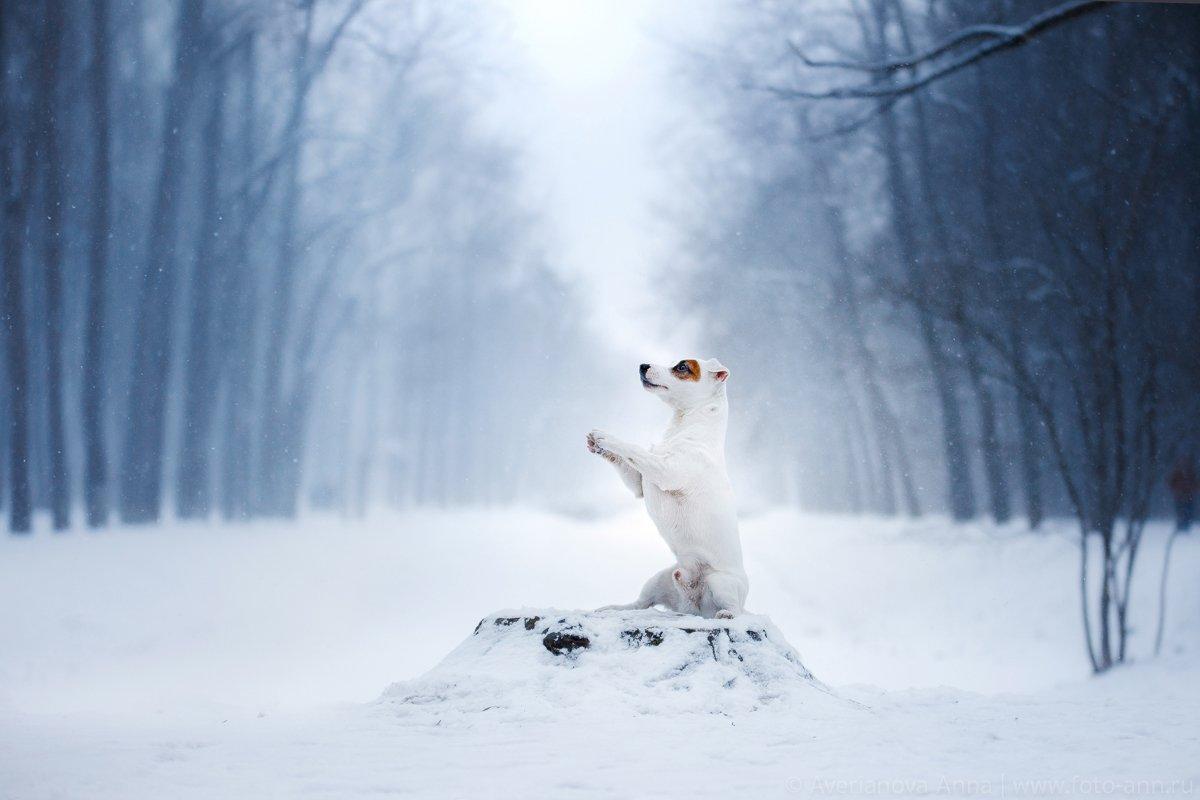 собака, джек рассел терьер, зима, снег , Анна Аверьянова