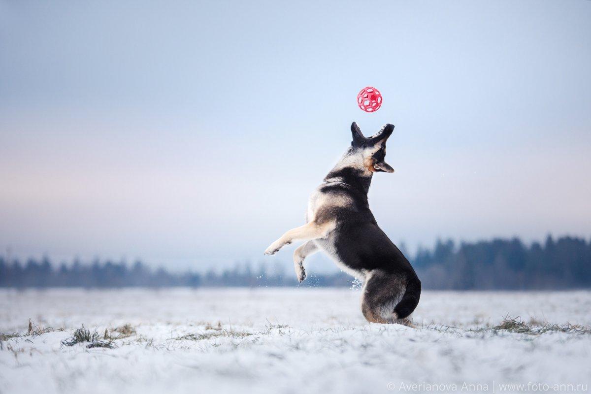 собака, природа, снег, зима, овчарка, Анна Аверьянова