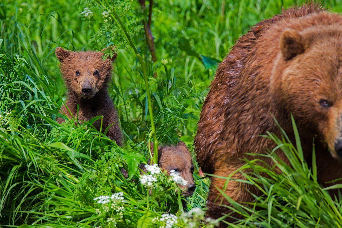 камчатка, медведь, лето, природа, путешествие, фототур, животные,, Денис Будьков