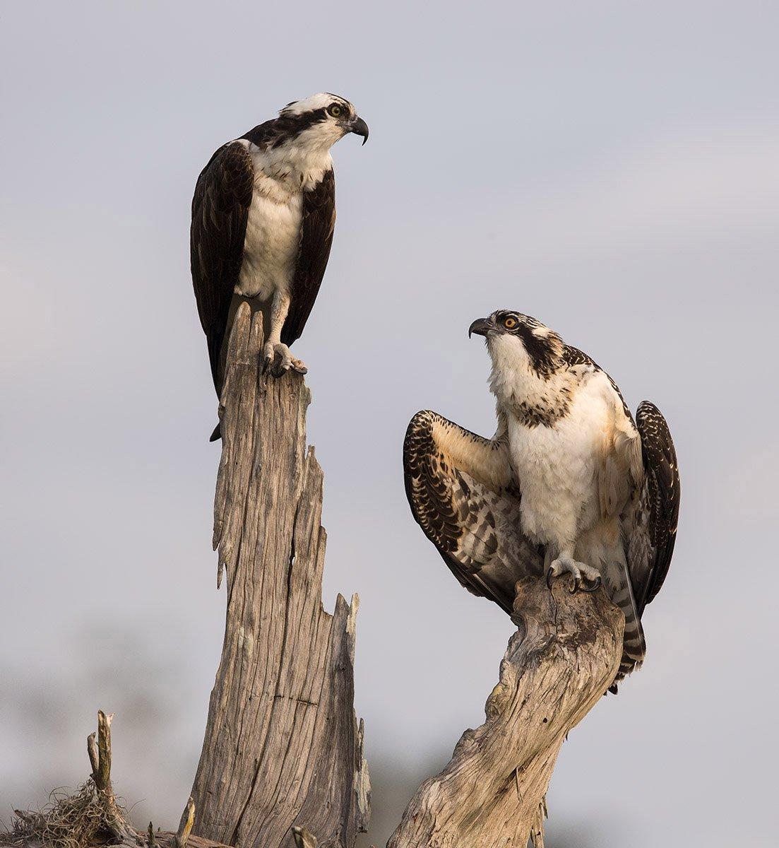 скопа, osprey, florida, флорида, blue cypress lake, Elizabeth E