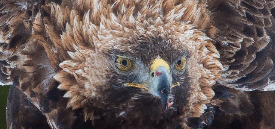 Golden Eagle, Finland, Jarkko Järvinen