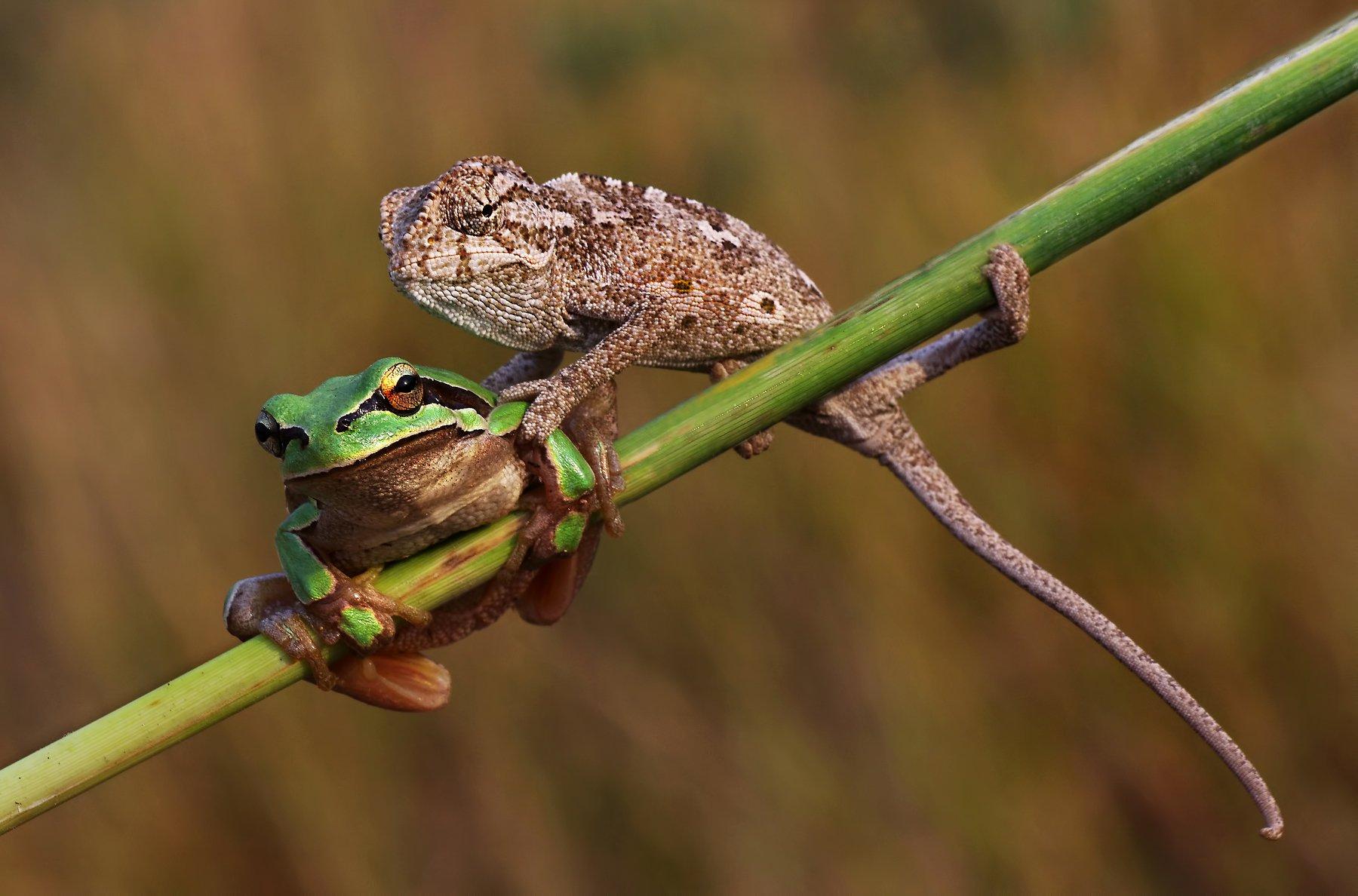 animal, nature, macro, frog, chameleon, friendship, selfie, Savas Sener